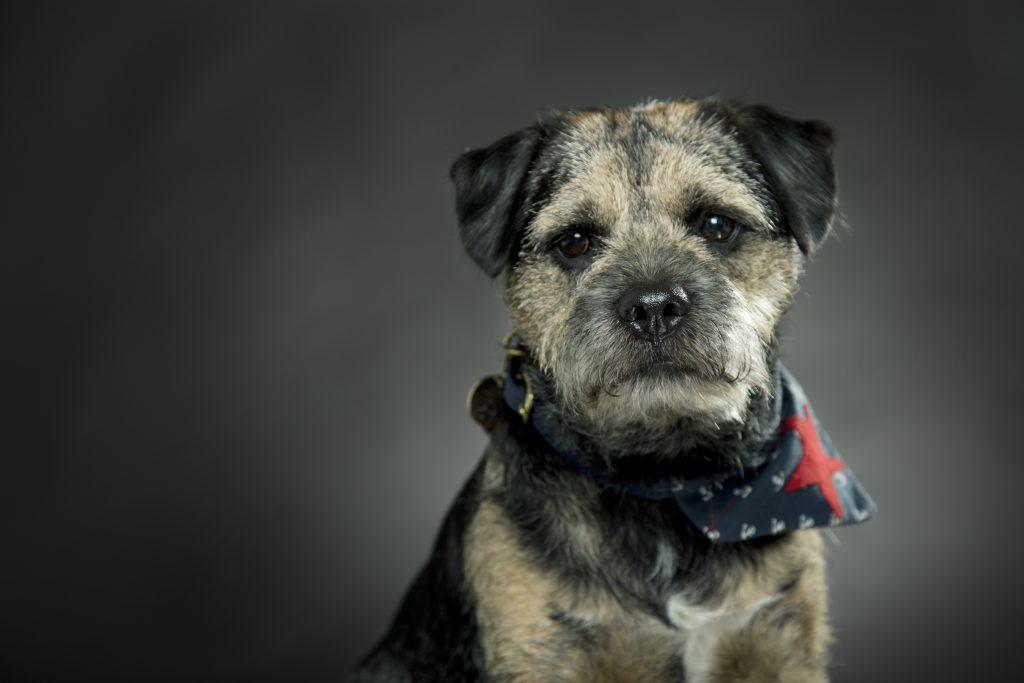 Hugo the Border Terrier