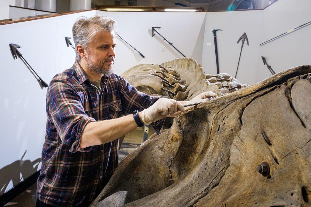Nigel Larkin of Nigel Larkin Ltd starts work to dismantle the North Atlantic right whale